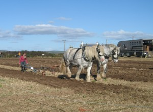 Shire horses pulling traditional plough