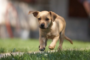 Labrador puppy - WAAC Dog Show